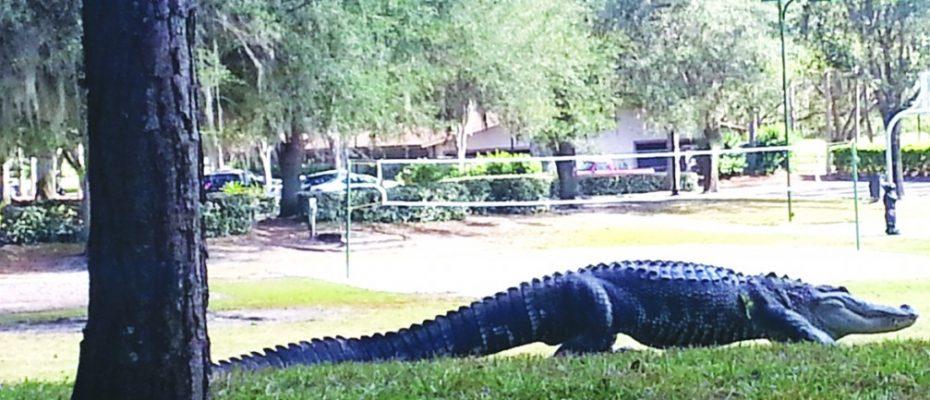 Alligator_20121204_135031
