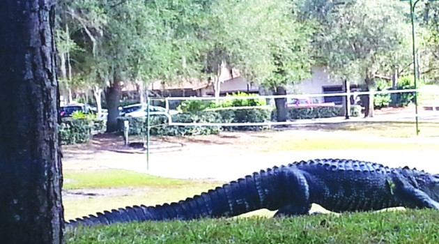 County's Only Female Trapper Captures River Hills Gator After Playground Sighting