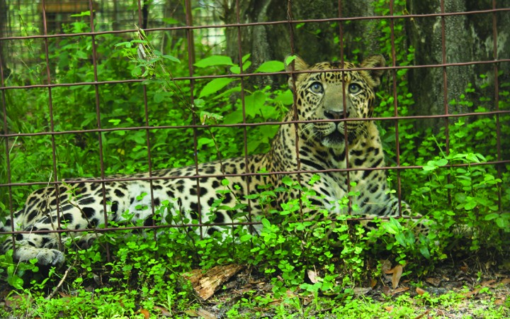 Big Cat Rescue Adds Vacation Rotation, Seeks Donors For Climbing Extension