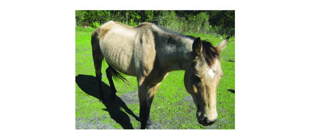 Sheriff's Office RehabilitatesAnd Donates Horses To Florida Sheriffs Youth Ranches