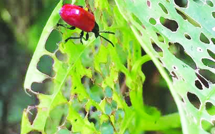 Air Potato Beetles Released To Eradicate Invasive Species