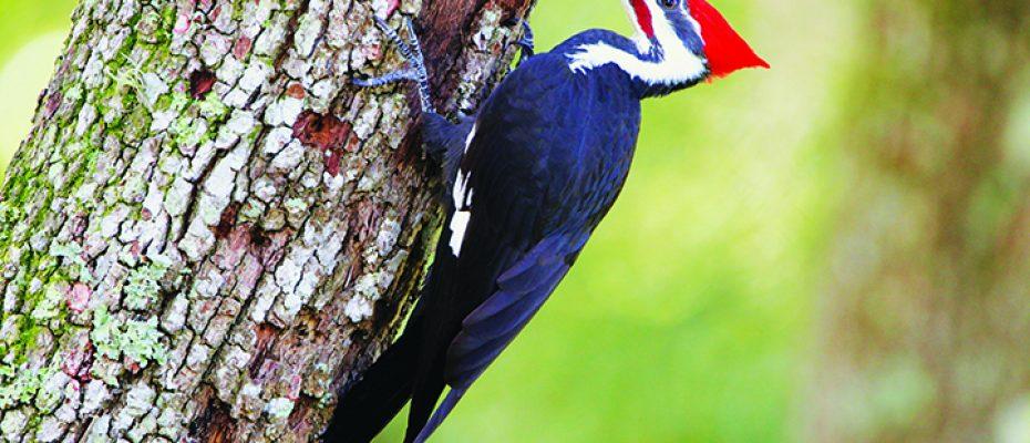 BirdGuypileated woodpecker