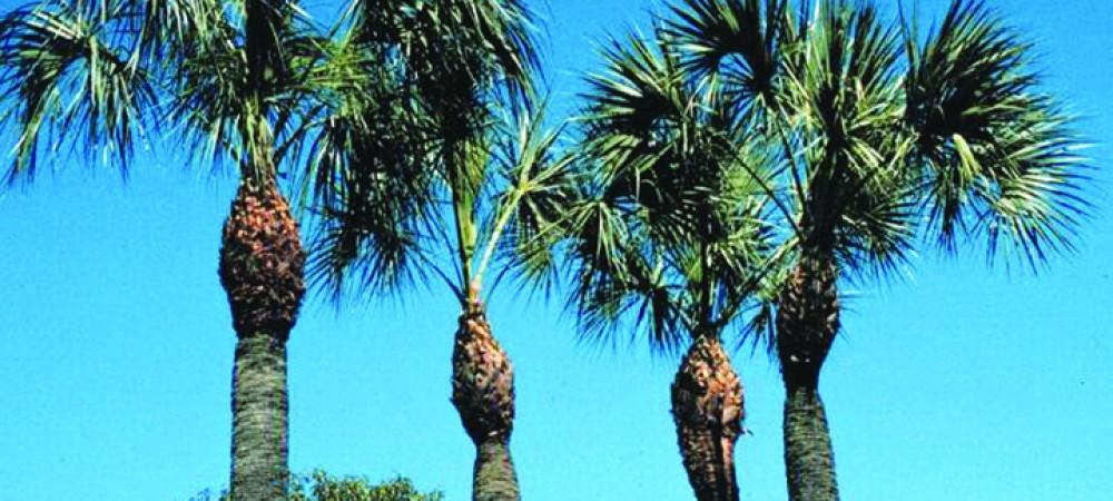 DIRToverpruned Sabal palm Photo credit Timothy Broschat UF