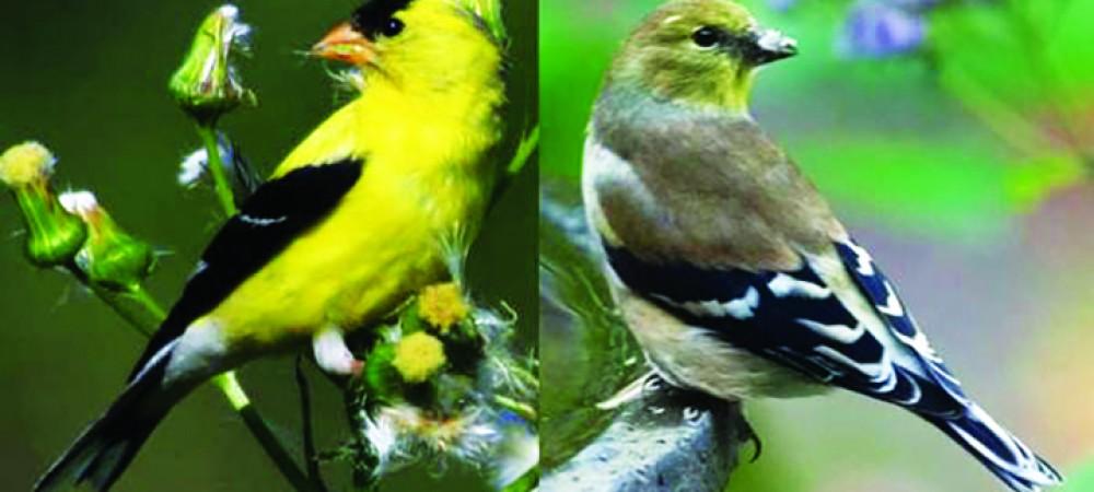 BirdGuyGoldfinch