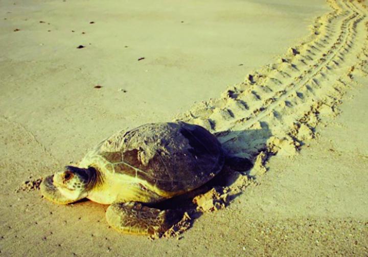 Florida Green Sea Turtles Set New Nesting Record
