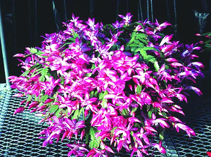 Christmas Cactus Makes Perfect Florida Plant For Holiday Season