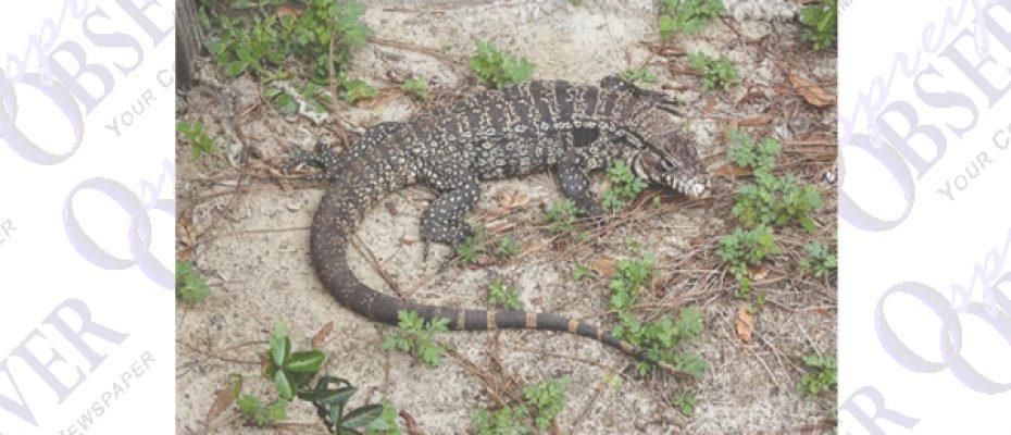 lizard.001