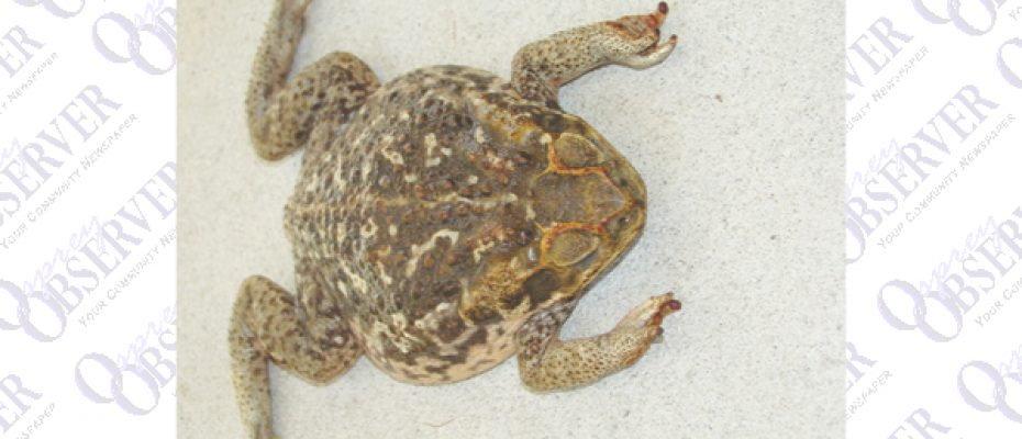 Poisonous Toad Causes Concern For Pet Owners In Hillsborough County