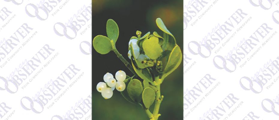 Get The Dirt With Florida Yard Expert: Mistletoe, A Traditional Holiday Decoration