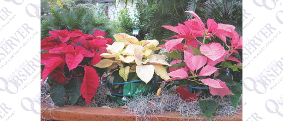 Get The Dirt  With Florida Yard Expert: How To Care For Your Holiday Plants